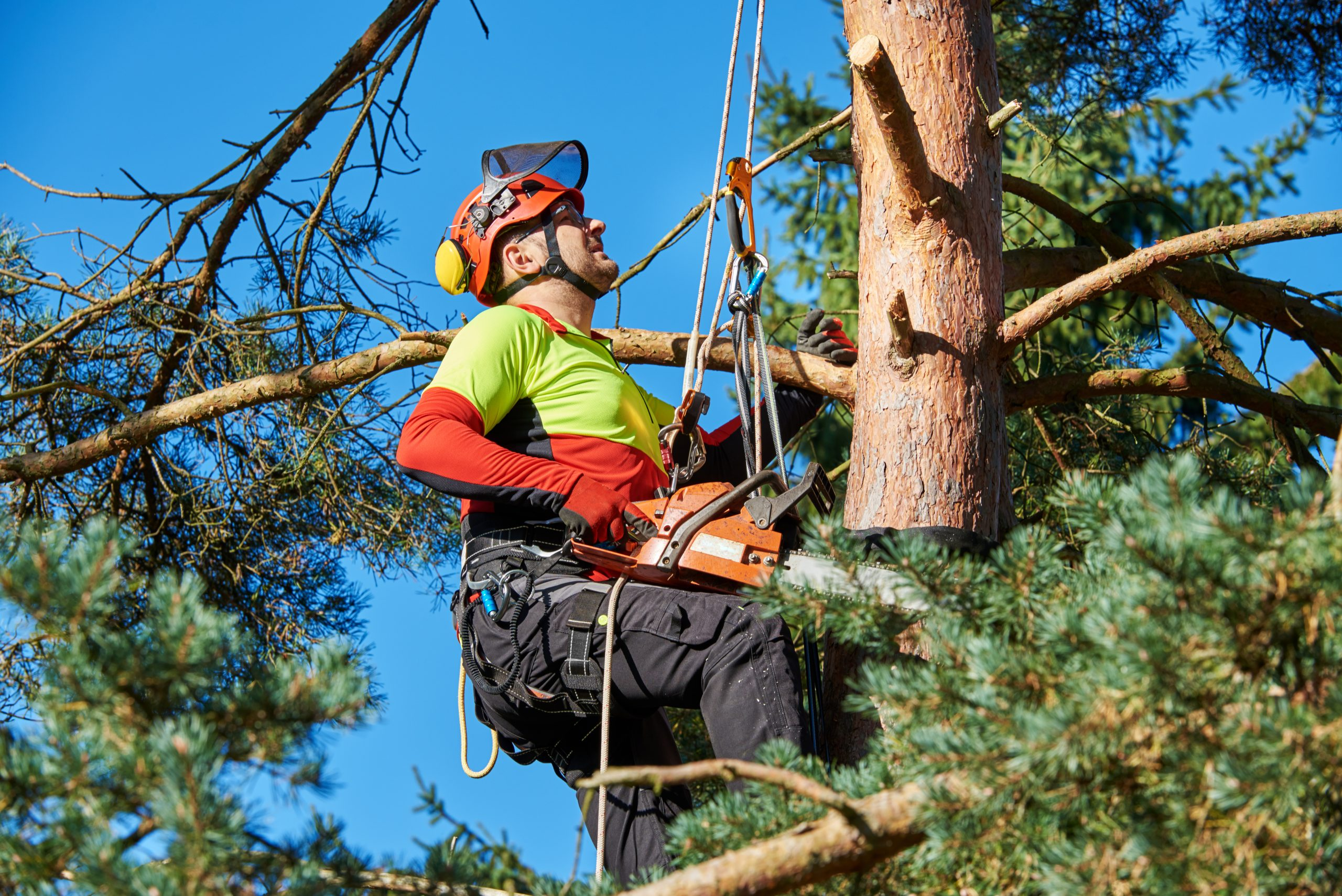 Lumberjack,With,Saw,And,Harness,Climbing,A,Tree