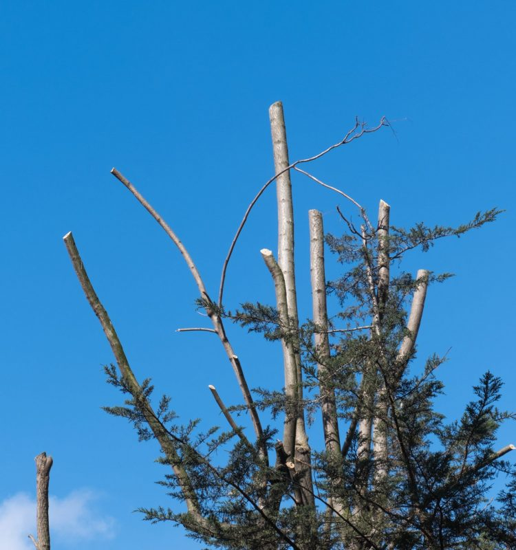 Sycamore,Trees,Made,Of,Pruning,,Topiary,